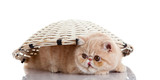 persian exotic kitten under basket isolated