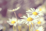 Fototapety daisy flowering pastel colors