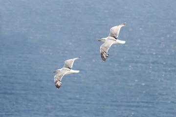 Seagulls as a couple