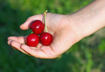 many red cherry  in a hand of child hand in summer