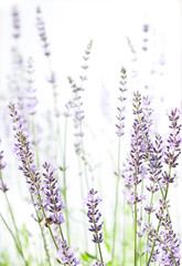 Lavender on white