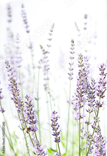 Lavender on white - 53287260