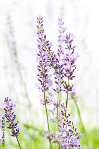 Lavender on white - 53287263