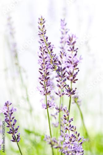Aluminium Lilac Lavender on white