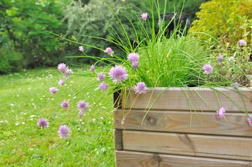 ciboulette en fleur dans pot en bois