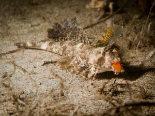 Fingered Dragonet - Dactylopus dactylopus