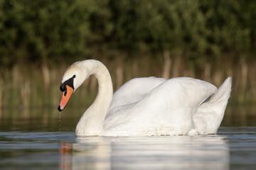 Mute swan, Cygnus olor , single bird swimming
