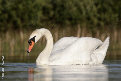 Mute swan, Cygnus olor , single bird swimming