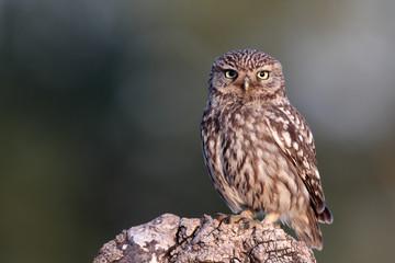 Little owl, Athene noctua,