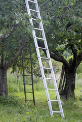Orchard with aluminum ladder propped to fruit trees during harve