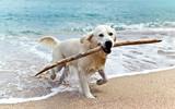 Fototapety labrador retriever on the beach