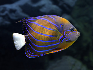 angelfish underwater - pomacanthus annularis