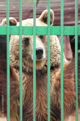 captivity - brown bear in cage