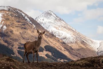 Glen Etive Deer