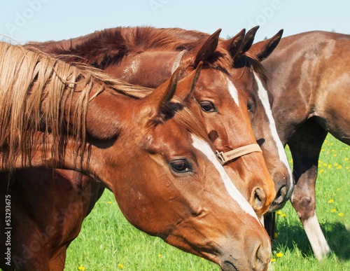portrait of group horses in pasture