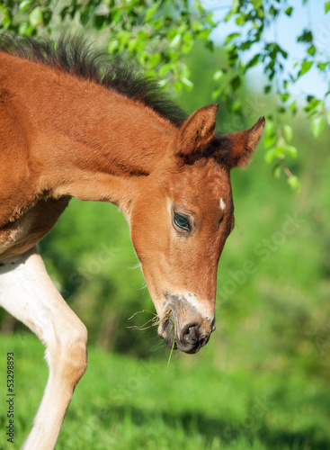 little  bay Hanoverian foal under the tree