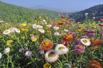 Field of flowers on the hill.