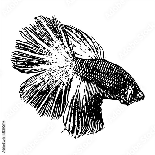 Fighting fish,  Betta splendens sketch vector
