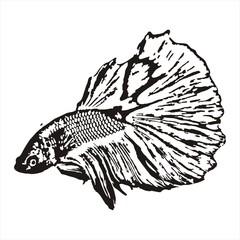 Fighting fish, Betta splendens sketch vector