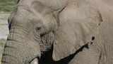 male elephant with huge tusks poster