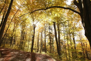 Autumn beech forest on a sunny day