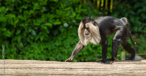 lion-tailed macaque walking