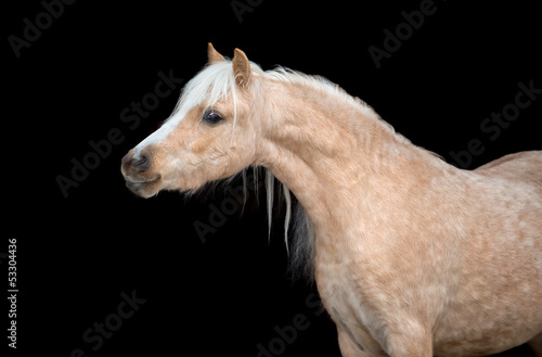Yellow horse portrait, isolated on black background.
