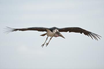 Marabou Stork Flying