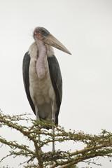 Marabou Stork on a Branch