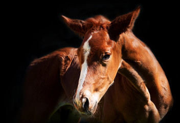 little chestnut foal at the dark background