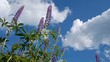 Violet lupine flower on sky background