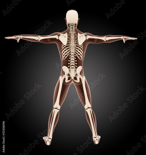 Male medical skeleton