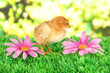 Little chicken with flowers on grass on bright background