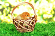 Little chicken in wicker basket on grass on bright background