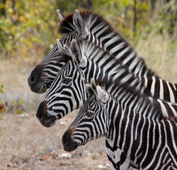 Zebras in Kruger National Park, South Africa