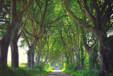 Dark Hedges trees