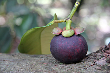 Mangosteen put on the tree.