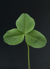 Rotklee, Trifolium pratense, Blatt