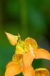 オレンジの蘭 ディサ