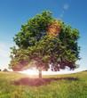 sun flare tree