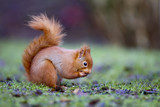 Red squirrel, Sciurus vulgaris,