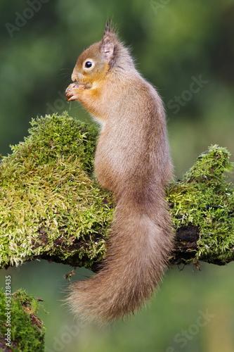 Plexiglas Eekhoorn Red squirrel, Sciurus vulgaris,