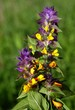 Melampyrum nemorosum plant blooming