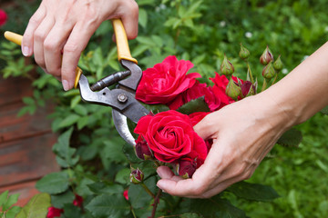 Red rose cutting
