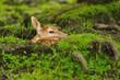 Just born young fallow deer