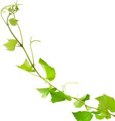 pampre de vigne