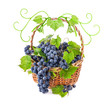 Grapes with leaves in wicker basket, Isolated on white