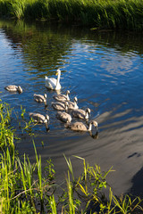 Mother swan and baby cygnets