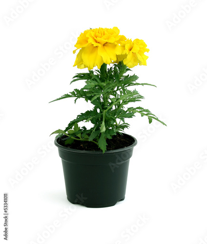 canvas print picture Yellow marigold flowers in pot isolated on white background