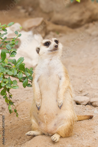 Meerkat  Standing  upright to guard and looking alert